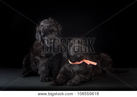 two puppy big black terrier