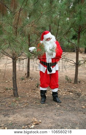 Santa Claus inspects his Christmas Trees at his Christmas Tree Farm