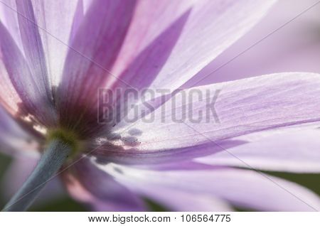 Pink Anemone Flowers