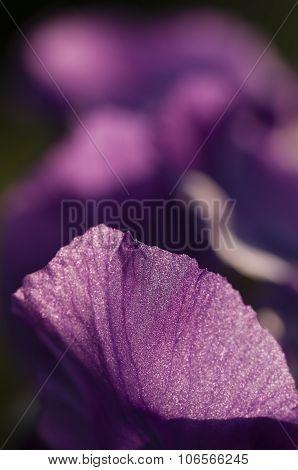 Close Up Of Purple  Iris Flower