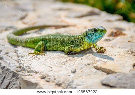 Green Emerald Gecko Lizard Sunbathing On A Rock