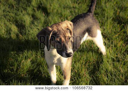 Beagle dog puppy Portrait