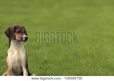 Beagle dog puppy Banner