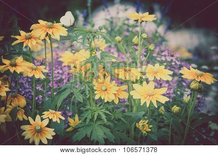 Beautiful Flowerbed With Yellow Rudbeckia Flowers