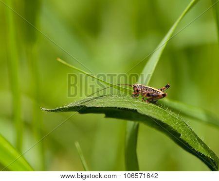 Grasshopper On Meadow