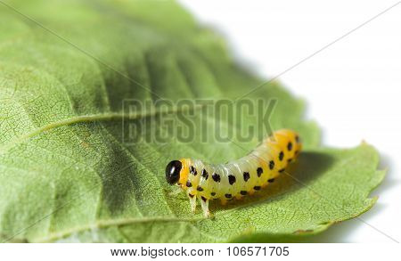 Macro Of Caterpillar Isolated On White
