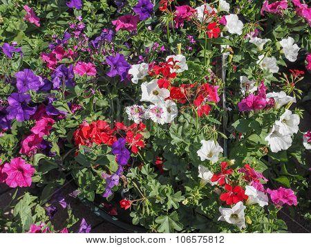 Surfinia Flower