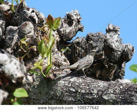 Bahama mockingbird perching