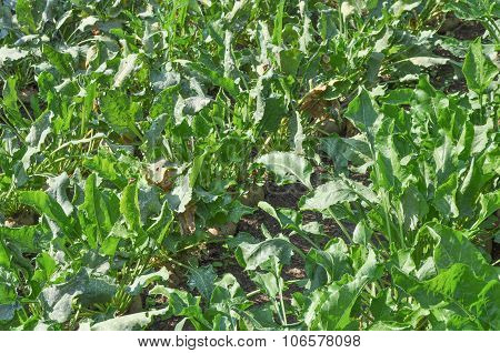 Sugar Beet Vegetables