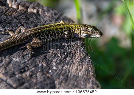 Lizarf or gecko sunbathing outside on a tree log