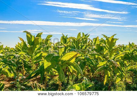Tobacco Plants In A Field On A Bright Day
