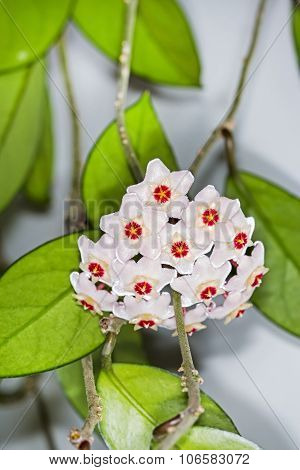 The fleshy Hoya (Hoya carnosa).Popular houseplant for vertical gardening
