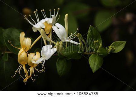 Yellow And White Honeysuckle