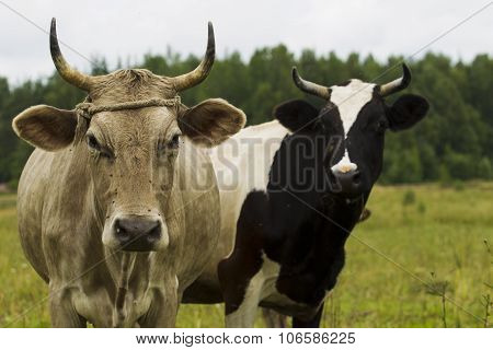Cows And Calves In The Pasture.