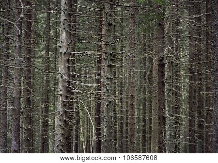Trunks Of Conifer Trees