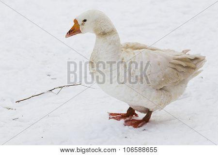 Walking White Goose Winter