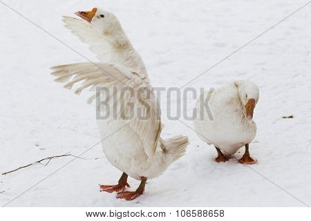 Two White Geese In The Snow.