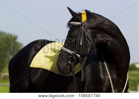 The Horse Is Black With Yellow Saddle Blanket.
