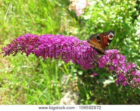 Peacock butterfly on a buddleja .
