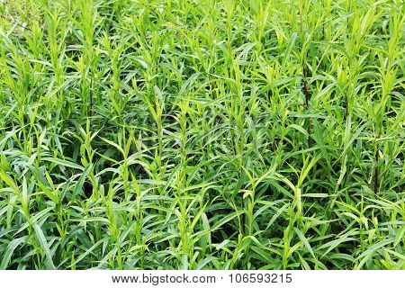Massive Green Weed Background