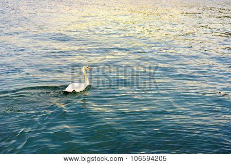 White swan the Lake Geneva