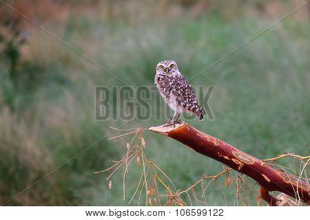 Burrowing Owl Sitting On A Stick, Huacachina, Peru