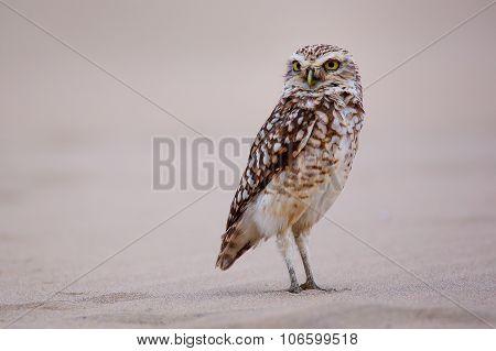 Burrowing Owl Standing On Sand, Huacachina, Peru
