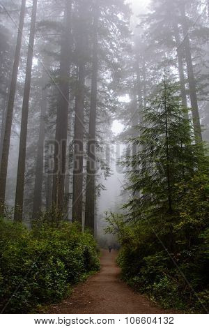 Forest in Redwood National Park