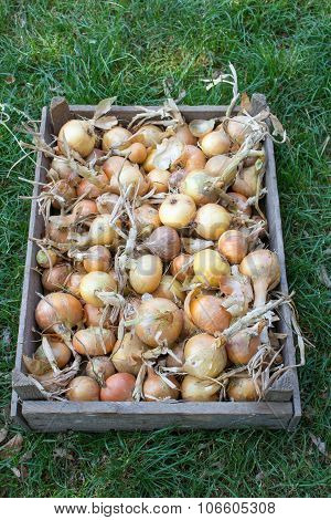 onions in a wooden tray