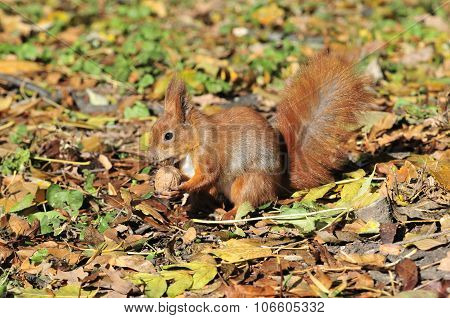 Squirrel gnaws walnut. Squirrel - a rodent of the squirrel family.