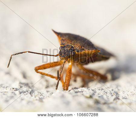 Pentatoma Rufipes