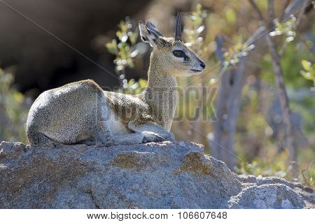 Male Klipspringer Resting On Large Boulder In The Early Morning Sun