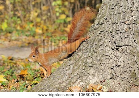 Squirrel - a rodent of the squirrel family.