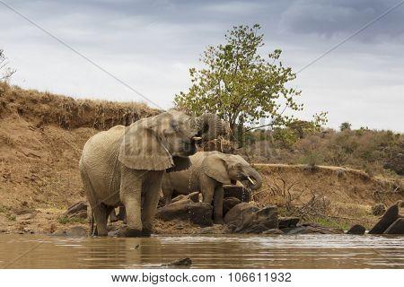 African Elephants wild in Africa