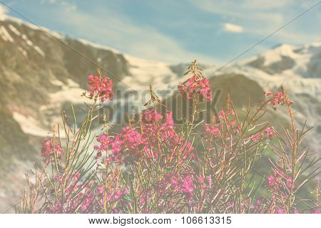 Swiss Apls With Wild Pink Flowers