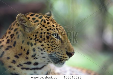 Closeup Portrait Of Jaguar