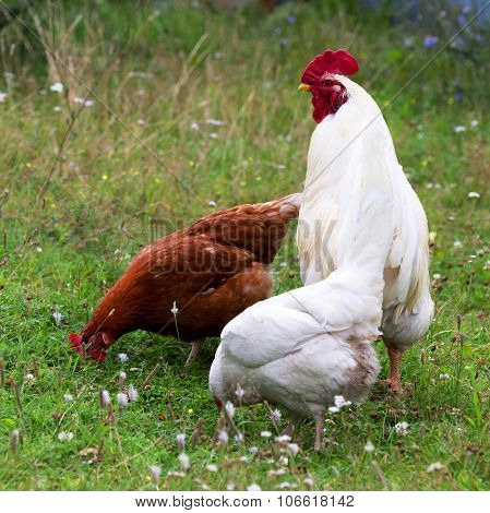 The Rooster And Hen On Traditional Free Range Poultry Farm, Selective Focus