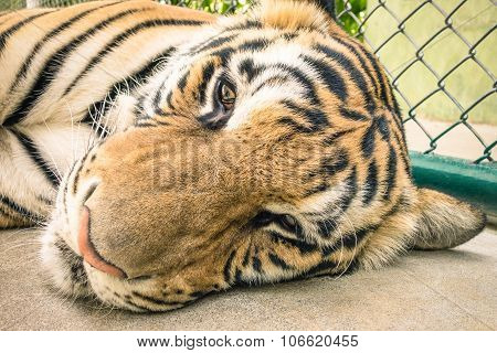 Sad Tiger In A Zoo Cage - Animal Abuse