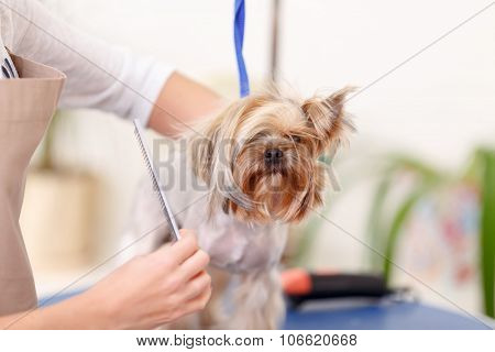 Yorkshire terrier is being scrupulously brushed.