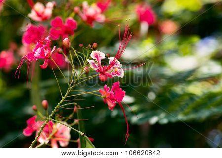 Caesalpinia pulcherrima red bird of paradise flower close up Tobago