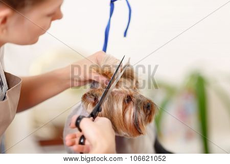 Yorkshire terrier in the process of changing style.