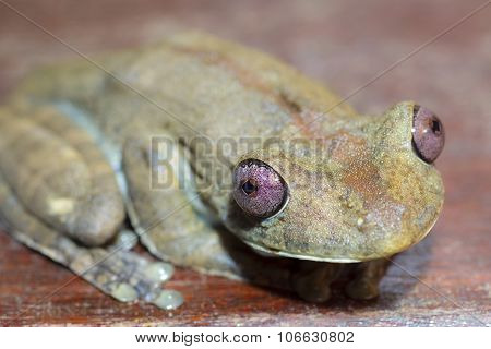 Amazon Green Tree Frog