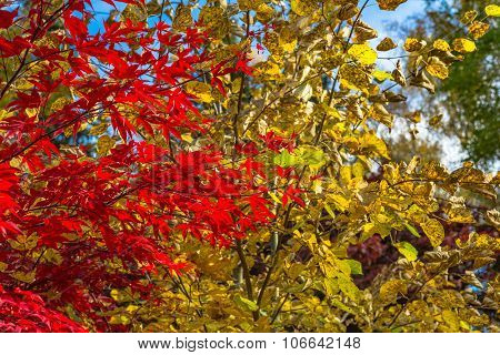 Japanese Maple, Acer Palmatum With Red Leaves In Autumn