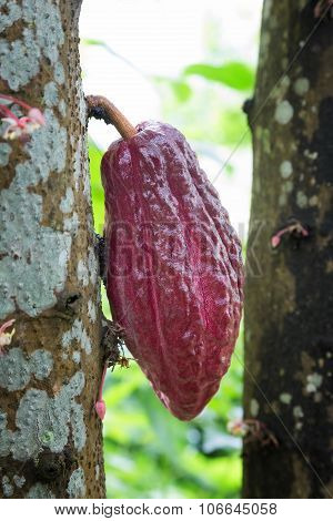 Growing Cacao For Chocolate