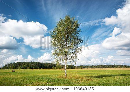 Birch tree at the field