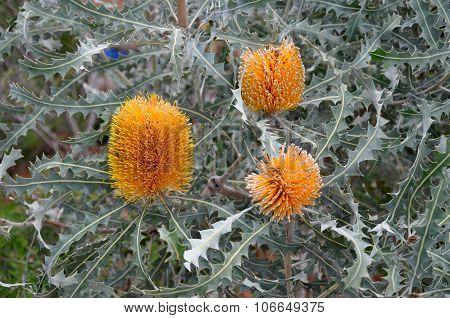 Banksia Orange Wildflower