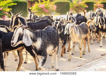 Herd Of Goats On Road In Vietnamese City In Morning