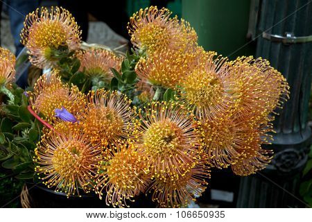 Protea pincushion flower in full bloom