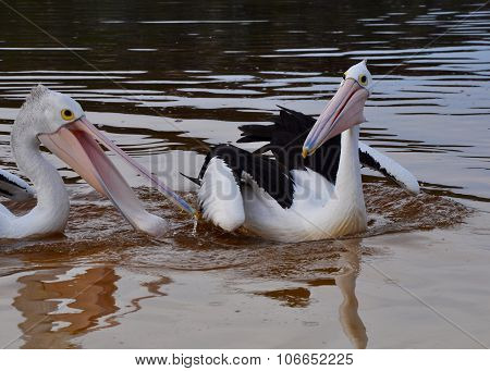 Pelicans Frolicking in the Moore River, Western Australia