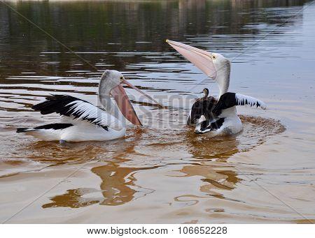 Pelicans at Play: Moore River, Western Australia